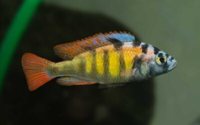 """""""Thick Skin Cichlide"""" CH44 – Haplochromis sp."""