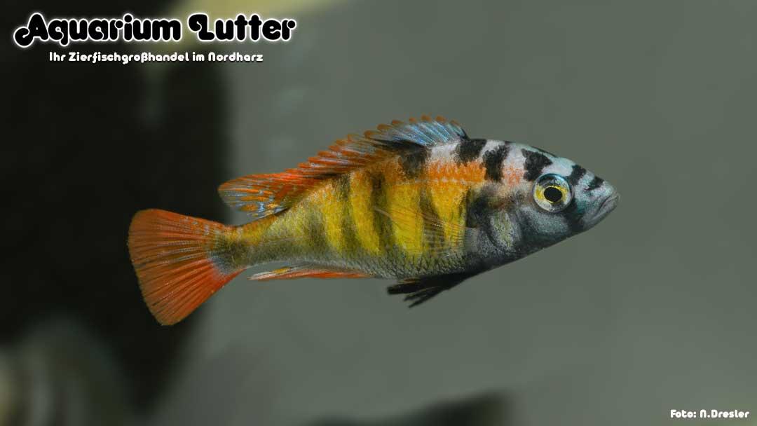 CH44 Thick Skin Cichlide - Haplochromis sp.