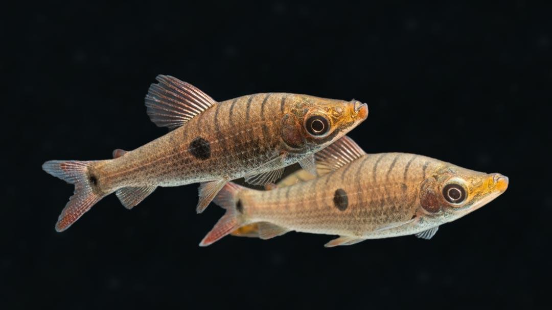 Dreipunkt Kopfsteher - Pseudanos trimaculatus