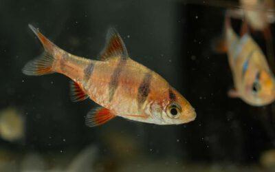 Fünfgürtelbarbe – Desmopuntius pentazona