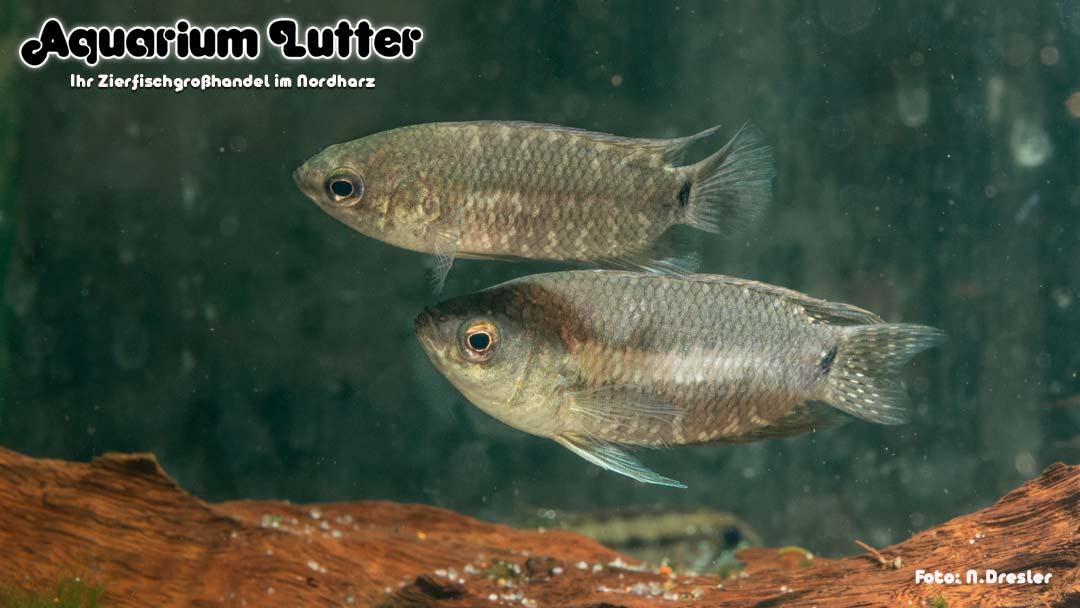 Gebänderter Buschfisch - Microctenopoma fasciolatum