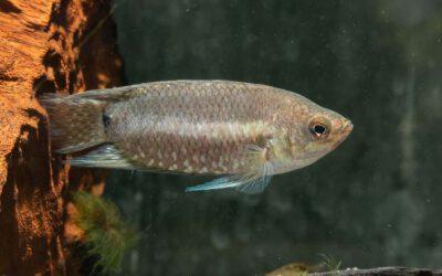 Gebänderter Buschfisch – Microctenopoma fasciolatum