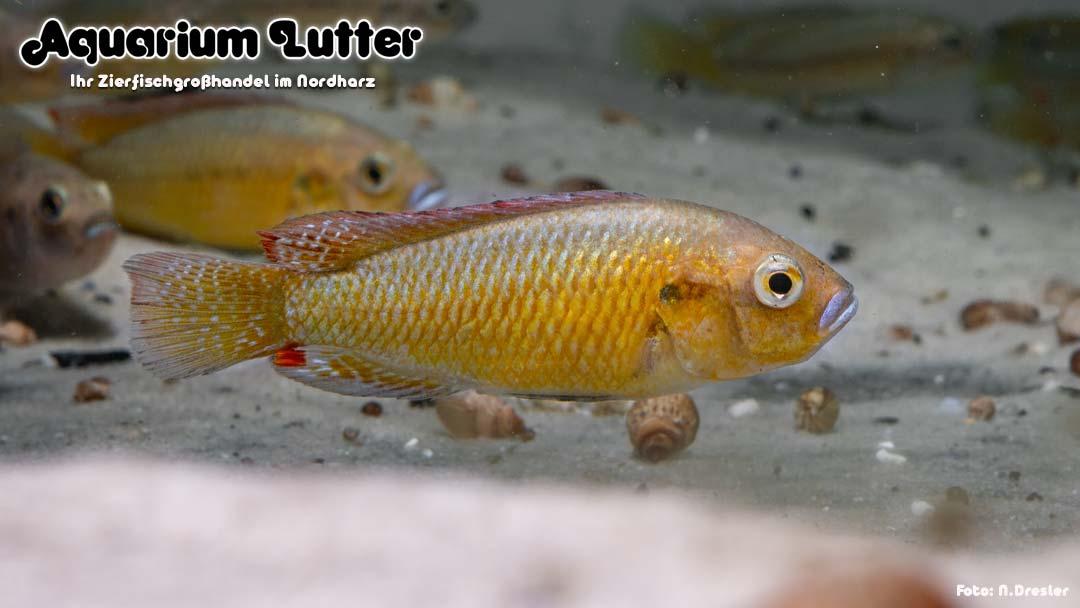 Kupfermaulbrüter - Pseudocrenilabrus philander dispersus
