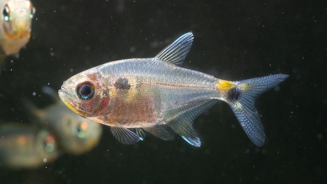 Schlusslichtsalmler - Hemigrammus ocellifer