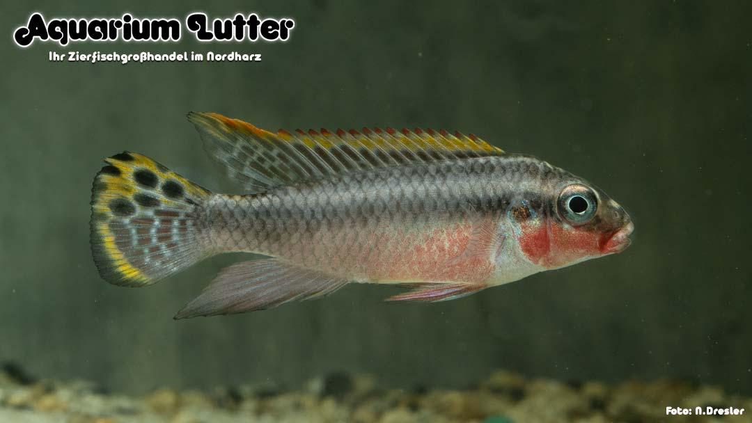 Smaragdprachtbarsch - Pelvicachromis taeniatus Nigeria Red