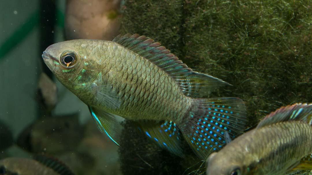 Türkisblauer Tüpfelbuntbarsch - Laetacara curviceps