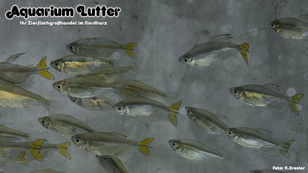Gelber Kongosalmler - Alestopetersius caudalis