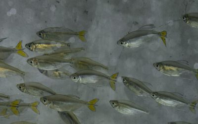 Gelber Kongosalmler – Alestopetersius caudalis