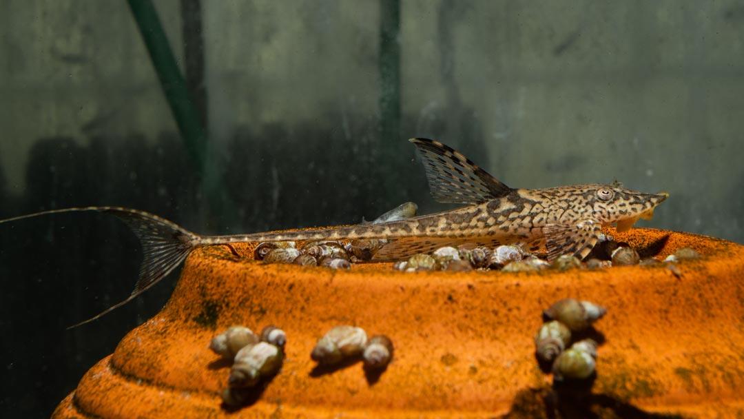 Zwergstörwels - Sturisomatichthys sp Kolumbien