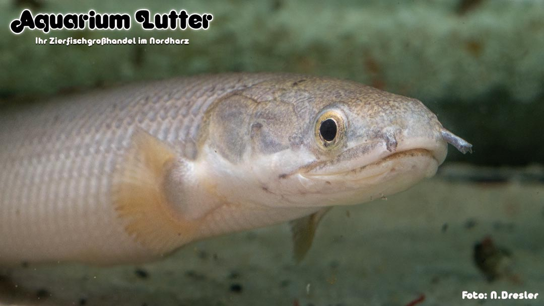 Senegal Flösselhecht - Polypterus senegalus