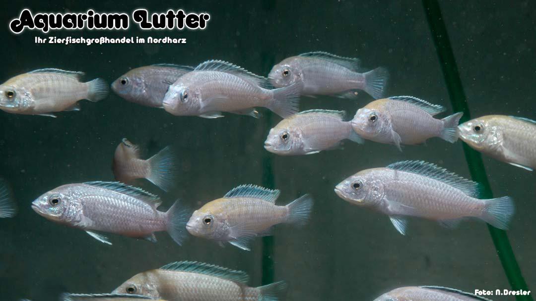 Weißer Labidochromis - Labidochromis caeruleus white