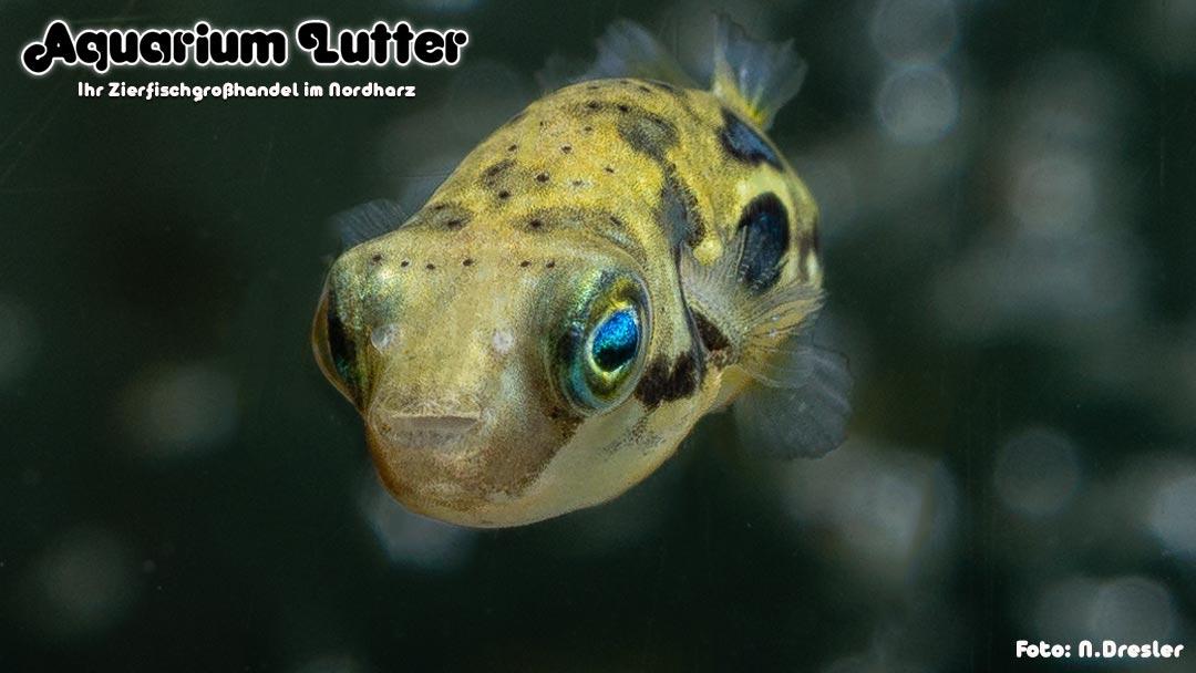 Erbsenkugelfisch - Carinotetraodon travancoricus