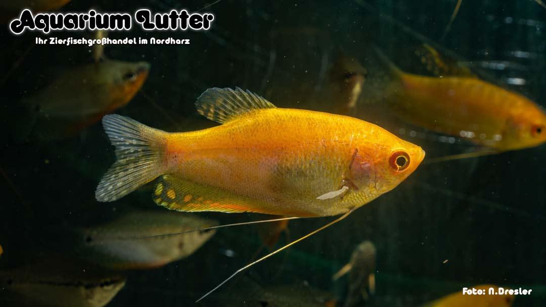 Fadenfisch Gold - Trichogaster trichopterus