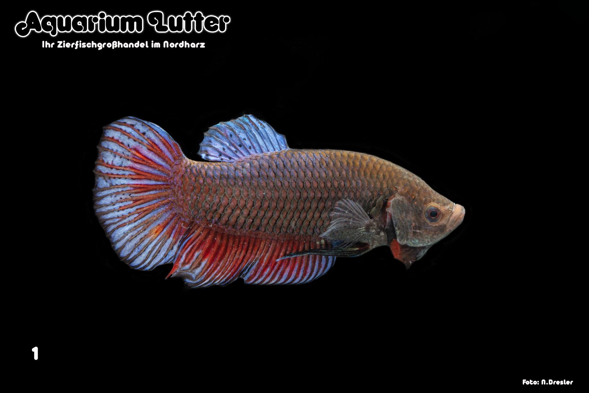 Kampffisch Männchen Giant - Betta splendens