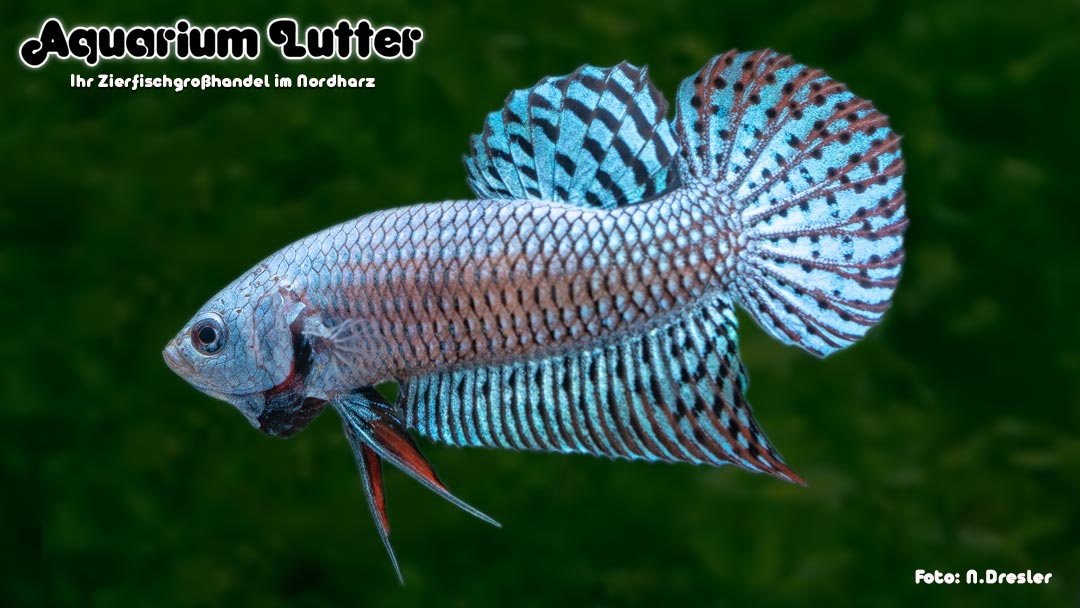 Kampffisch Männchen Alien Steel - Betta splendens
