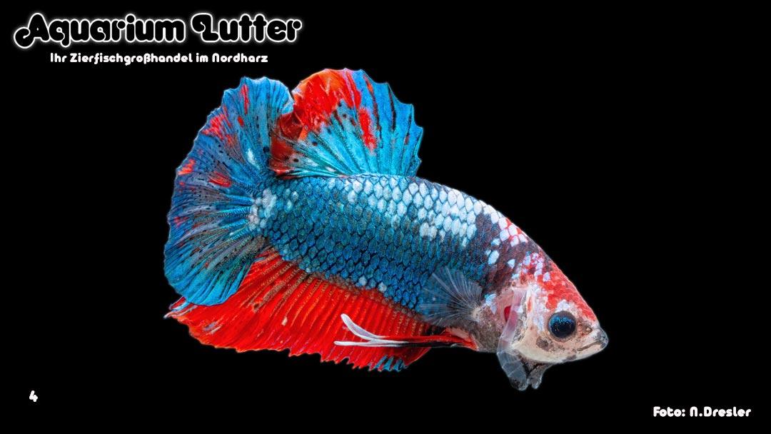 Kampffisch Männchen Dragonscale - Betta splendens