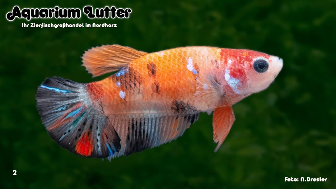 Kampffisch Weibchen Koi Galaxy - Betta splendens