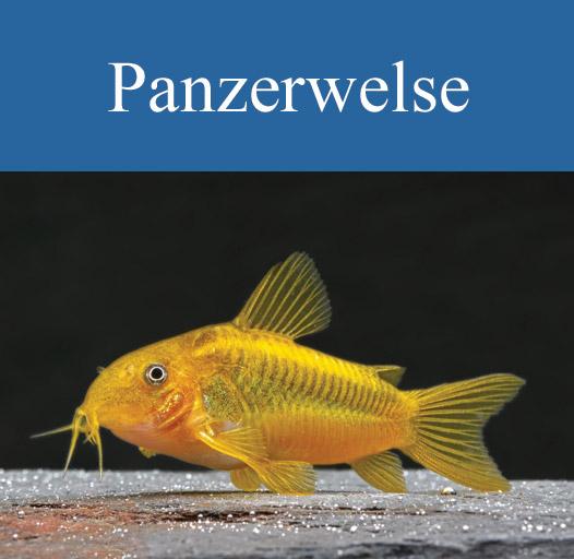 galerie-vorschau-panzerwelse