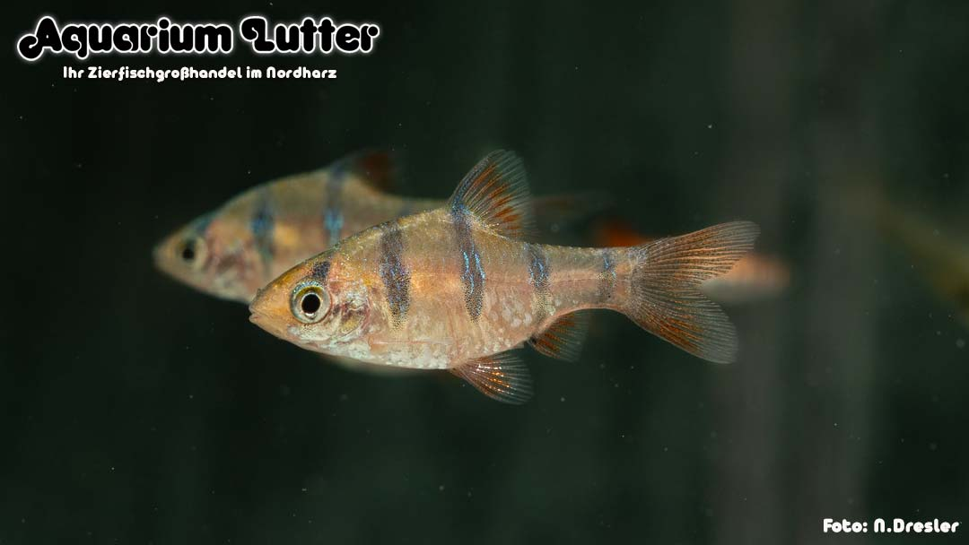 Fünfgürtelbarbe - Desmopuntius pentazona