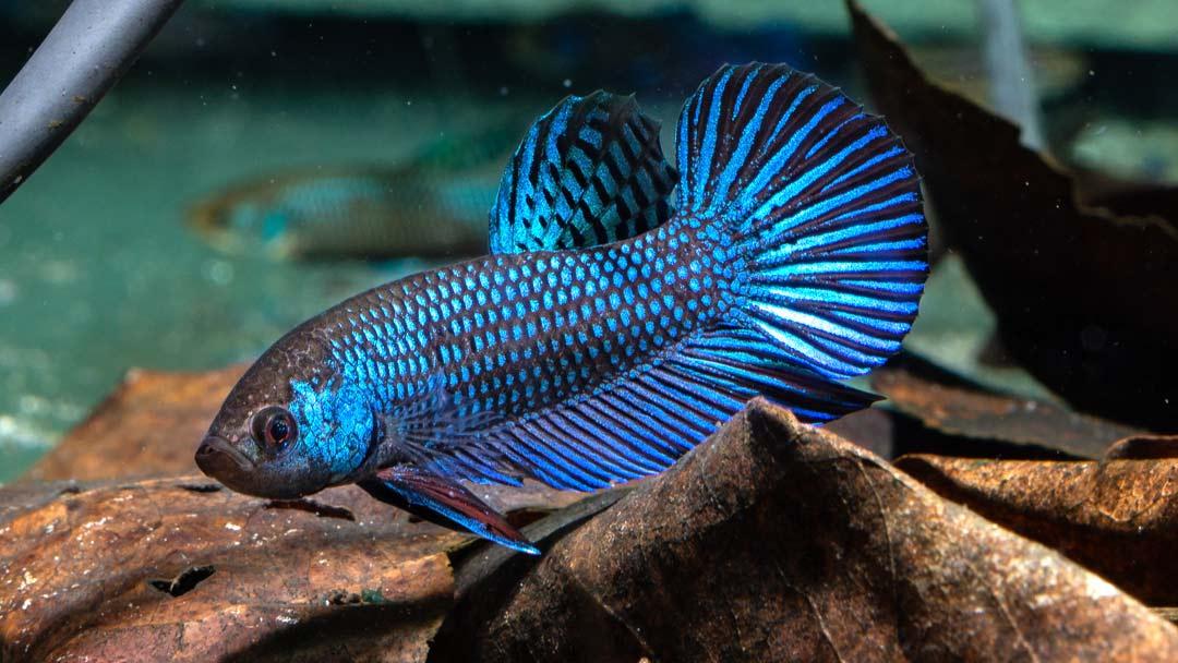 Mahachai Kampffisch - Betta mahachaiensis