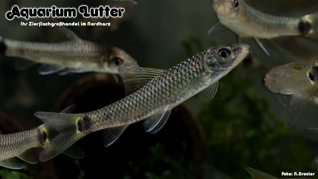 Netzpinselalgenfresser - Crossocheilus reticulatus