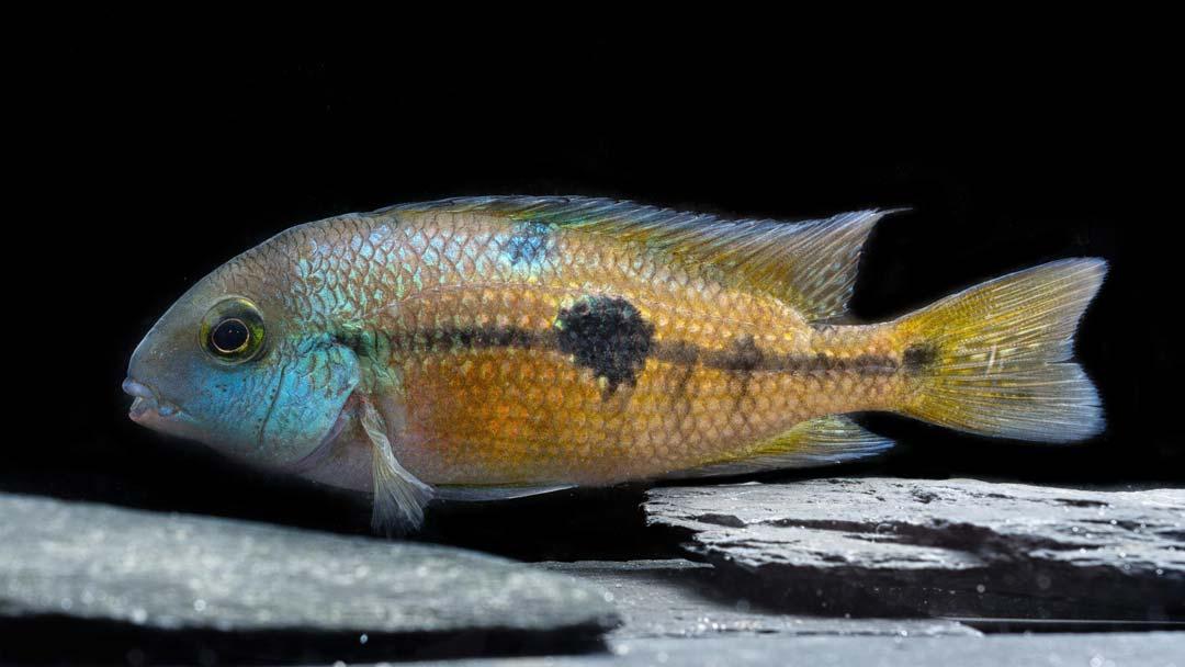 Nicaragua Traumbarsch - Hypsophrys nicaraguensis