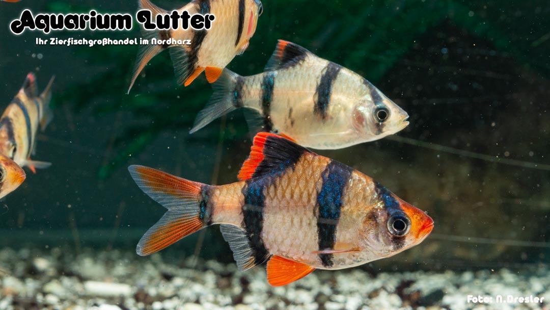 Sumatrabarbe - Puntigrus tetrazona