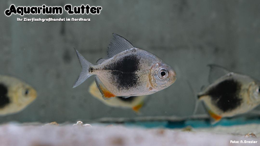 Blaubeeren Blueberry Scheibensalmler - Myloplus Lamax III